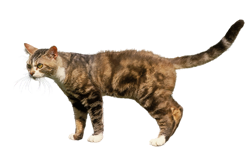 cat breed american wirehair