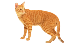 cat breed arabian mau