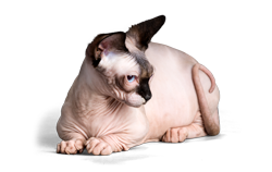 cat breed bambino