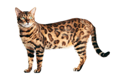 cat breed bengal