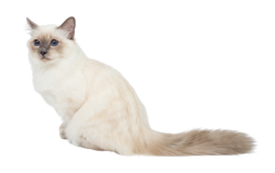 cat breed birman