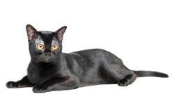 cat breed bombay