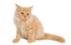 cat breed british longhair