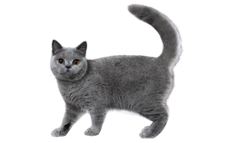 cat breed british shorthair