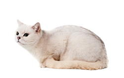 cat breed burmilla