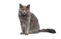 cat breed chartreux