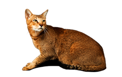 cat breed chausie