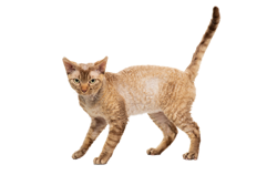 cat breed devon rex