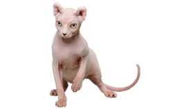 cat breed dwelf