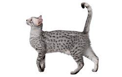 cat breed egyptian mau