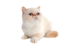 cat breed exotic shorthair