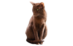 cat breed havana brown
