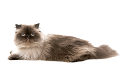 cat breed himalayan