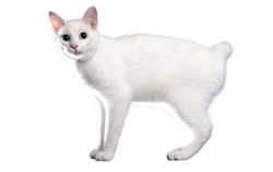 cat breed japanese bobtail