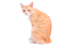 cat breed javanese