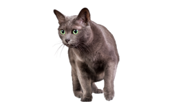 cat breed korat