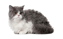 cat breed lambkin