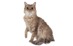 cat breed laperm