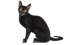 cat breed lykoi