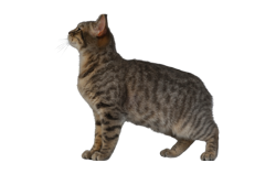 cat breed manx
