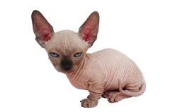 cat breed minskin