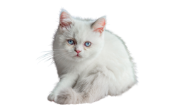 cat breed napoleon