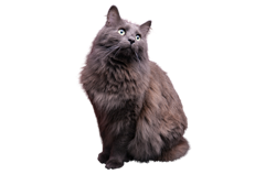 cat breed nebelung
