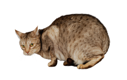cat breed ocicat