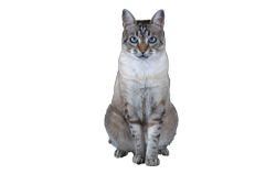 cat breed ojos azules