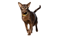 cat breed oriental shorthair