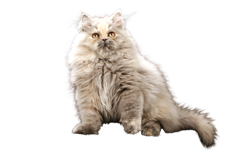 cat breed persian
