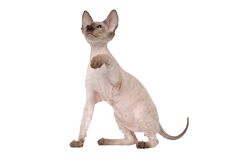 cat breed peterbald