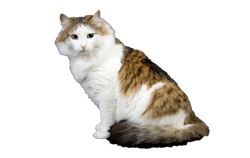 cat breed ragamuffin