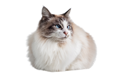 cat breed ragdoll