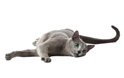 cat breed russian blue