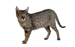 cat breed savannah