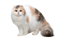 cat breed scottish fold