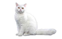 cat breed selkirk rex