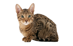 cat breed serengreti