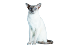 cat breed siamese modern