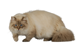 cat breed siberian