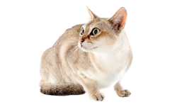 cat breed singapura