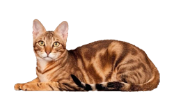 cat breed sokoke