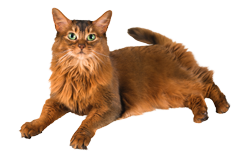 cat breed somali