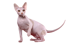 cat breed sphynx