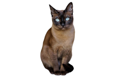 cat breed tonkinese