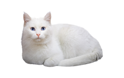 cat breed turkish van