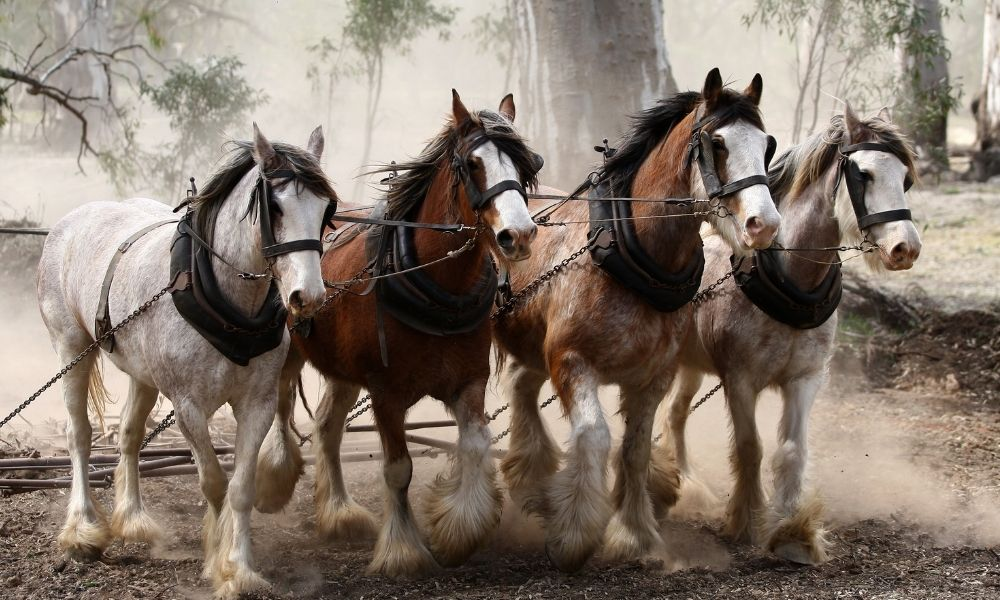 a group of four clydesdales hauling together