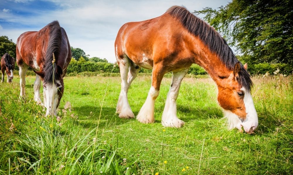 two draft horses grazing in a field