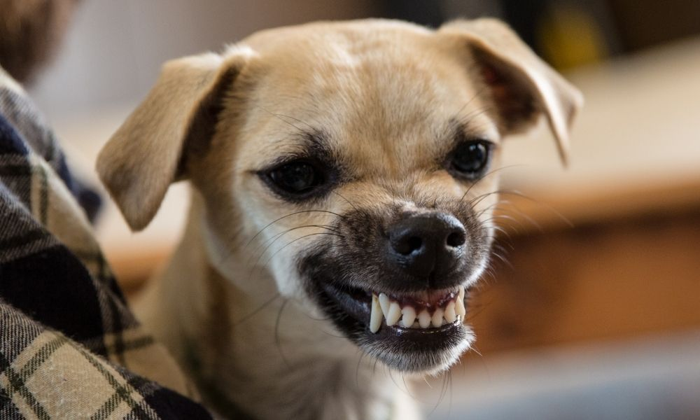 a small aggressive dog baring its teeth